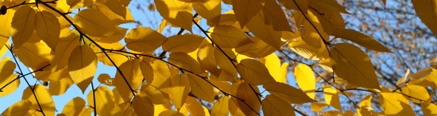 Shade Tree header - gold leaves against blue sky